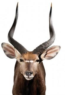 Nyala Antelope - (Tragelaphus angasii)