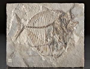 Collezione Spallanzani – Fossile