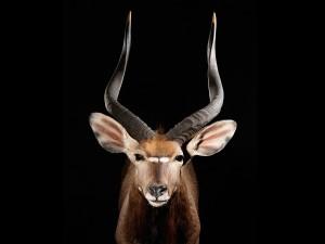 Antilope Nyala