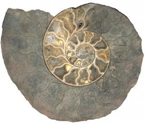 Ammonite, collezione Spallanzani