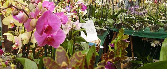 orchidea-reggiana